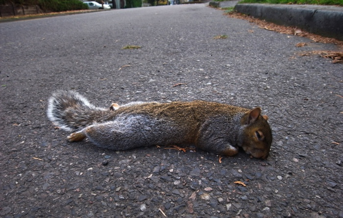 1200-squirell-dead